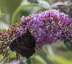 9Q6A1775 (2) (Alinbidford) Tags: alancurtis alinbidford brandonmarsh nature wildlife butterfly