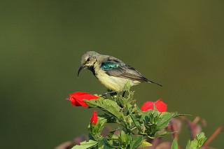 Cinnyris venustus ♂ (Variable Sunbird) - Isunga, Uganda