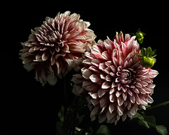 Dahlia Pair 0811 (Tjerger) Tags: nature flower flowers bloom blooms blooming plant natural floral blackbackground portrait beautiful beauty black green wisconsin macro closeup pink pair two duo dahlia couple dahlias summer whtie