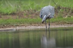 Eye on the prize (Bird-guy) Tags: greatblueheron heron ardeaherodias lakepeachtree peachtreecitygeorgia