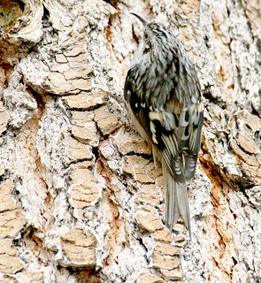 Brown Creeper (Certhia americana); Santa Fe National Forest, NM, Thompson Ridge [Lou Feltz]