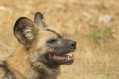 Afrikaanse Wilde Hond - Safaripark Beekse Bergen - Hilvarenbeek (Jan de Neijs Photography) Tags: dierentuin zoo tamron tamron150600 150600 dierenpark nl holland thenetherlands dieniederlande utrecht diergaarde g2 animal dier beeksebergen safaripark safariparkbeeksebergen hilvarenbeek roofdier sbb afrikaansewildehond hond wildehond lycaonpictus