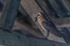 R18_2116 (ronald groenendijk) Tags: cronaldgroenendijk 2018 rgflickrrg tytoalba animal barnowl bird birds copyrightronaldgroenendijk europe holland kerkuil nature natuur natuurfotografie netherlands outdoor owl owls ronaldgroenendijk uil uilen vogel vogels wildlife