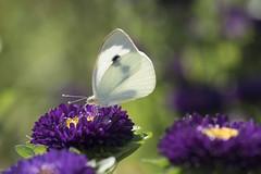 Plein été * (Titole) Tags: papillon butterfly aster asterdechine chinaaster white titole nicolefaton purple flowers bokeh