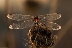 We called her Brigitte (Shi-Nashi) Tags: dragon fly sunset detail macro near close wonderful nature