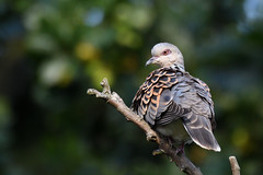 Turtle Dove Titchwell RSPB Norfolk (JohnMannPhoto) Tags: turtle dove titchwell rspb norfolk