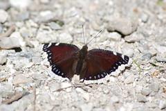 Trauermantel (Aah-Yeah) Tags: trauermantel camberwell beauty mourning cloak schmetterling butterfly tagfalter marquartstein achental chiemgau bayern