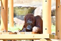 Hola Wu Tan(オラウータン) (daigo harada(原田 大吾)) Tags: tama animal zoo view landscape hola wu tan