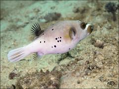 Blackspotted Puffer (Arothron nigropunctatus) (Brian Mayes) Tags: 1988 abanapole muara brunei pufferfish blackspottedpuffer arothronnigropunctatus underwater scuba diving canon g16 canong16 brianmayes