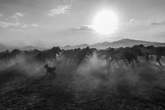 yılkı atları sb (yasar metin) Tags: yılkı atları kayseri hörmetçi hürmetçi horse horses sunset gün batımı life light sun sky mountain landscape grass animal field mist people sand tree road ngc