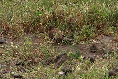 Madeira_145 (Thomas Jundt + CV) Tags: madeira pontadesãolourenço portugal raubvogel