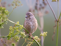 Female Linnet - Late July (Tony McLean) Tags: ©2018tonymclean tophilllow eastyorkshire naturephotography wildlifephotography nikond4 nikon500f4gvr linnet linnetfemale
