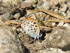 Rare Lustrous Copper Butterfly, Lycaena Cupreus (Ruby 2417) Tags: lustrous copper butterfly insect wildlife nature kyburz sierra