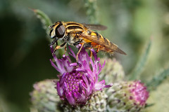 This Is A Proper Footballer Not Like The Ones On The Telly (Mark Wasteney) Tags: happyflydayfriday fly hoverfly diptera insect invertebrate fauna flower wildflower plant hfdf