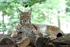 Lynx boréal (Passion Animaux & Photos) Tags: lynx boreal eurasianlynx lynxlynx parc animalier saintecroix france