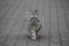 Missgelaunte Fussel (Vasquezz) Tags: katze cat sibirischekatze sibirische sibirisch siberiancat siberian сибирская кошка сибирскаякошка fussel coth haustier pet coth5 cothgg sunrayssc fantasticnature realbutee3 alittlebeauty