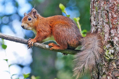 Red Squirrel (eric robb niven) Tags: ericrobbniven scotland redsquirrel wildlife nature springwatch