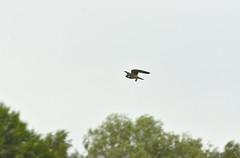 Hobby Catching Dragonflies (CJRawlings) Tags: hobby birdofprey falcon predator brandonmarsh