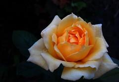 rose flower (ALEKSANDR RYBAK) Tags: роза цветок лепестки красиво цвет макро нежность роса капельки свет тень крупно rose flower petals beautiful colour macro tenderness dew droplets shine shadow closeup