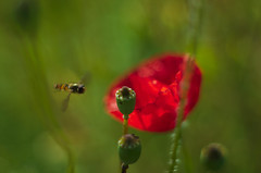 agricultural impressions (e27182818284) Tags: smcpk55mmf18 poppy insect