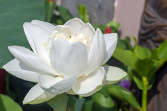 Sacred - _TNY_3789 (Calle Söderberg) Tags: macro canon canon5dmkii canonef100mmf28usmmacro canoneos5dmarkii 5d2 flash meike mk300 glassdiffusor flower white lotus indianlotus nelumbo nucifera vietnam phuquoc mercuryphuquocresortvillas soft sacredlotus beanofindia nelumbonaceae lotusblomma petals f95