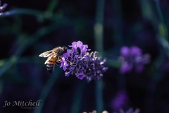I'm Not the Only Fan of Lavender (Jo Mitchell Photography) Tags: colour loveengland nikon naturephotography photography honeybee mayfieldlavender bee outdooradventure nature nikond500 surrey lovegreatbritain nikond500photography jomitchellphotography lavender ukpotd sunset photooftheday flowers banstead