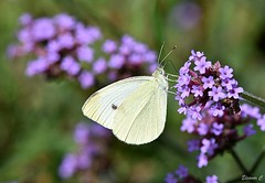 One of Many (Eleanor (No multiple invites please)) Tags: butterfly smallwhitebutterfly flowers verbena garden stanmore uk nikond7200 105mmmacrolens august2018