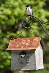 'Success' (Canadapt) Tags: swallow birdhouse pair nesting keefer canadapt
