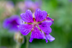 Purple (anderswetterstam) Tags: flowers nature floral botanical freshness fragility spring springtime beauty