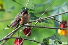 DSC_8886.jpg (Augusto Ilian G) Tags: colibrípechipunteado adelomyiamelanogenys speckledhummingbird