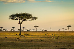 Life on the plains (Bertie Allison) Tags: canon wildlife nature photography kenya masai mara safari africa gazelle animals trees landscape sunlight sunset 2470