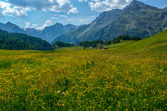 Blooming Alpine Meadow (Bephep2010) Tags: 2017 77 alpen alpenwiese alpha berg engadin graubünden grisons landschaft maloja sal1650f28 slta77v schweiz sommer sony switzerland wald alpine alps blooming blühend forest gelb landscape meadow summer yellow bregaglia ch