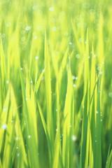 OMD09433 Rice Field (Keishi Etoh rough-and-ready photoglaph) Tags: olympus omd em1 olympusomdem1 microfourthirds meyeroptikgörlitzdomiplan50mmf28 100mm meyeroptik domiplan mf manualfocuslens primelens fixedfocallengthlens oldlens m42 単焦点 中望遠