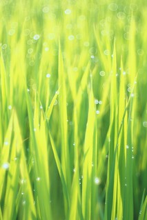 OMD09433 Rice Field