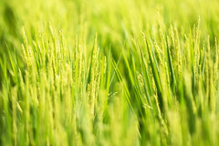 Summer Green (jasohill) Tags: 2018 amazing rice color landscape hachimantai nature photography life city green paddy iwate japan flowering