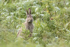 Heads up (ce-4) Tags: wildlife britishwildlife rabbit nature northeastengland sigma500mmf45 summer canon80d grass
