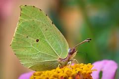 Common brimstone (Ersin Demir) Tags: commonbrimstone gonepteryxrhamni citronfjäril orakkanat butterfly macro closeup nature wildlife nikond750 tamronsp90mmf28