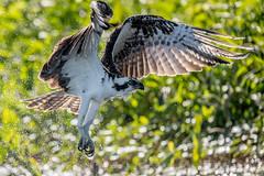 Osprey (Linda Martin Photography) Tags: pandionhaliaetus circlebbarreserve wildlife osprey nature bird polkcounty us florida animal coth naturethroughthelens alittlebeauty specanimal ngc coth5 npc