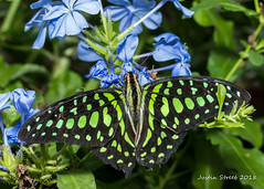 Brookside Butterfly 2018-10 (strjustin) Tags: butterfly insect bug macro flowers