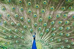 Royal peacock (_Maganna) Tags: nature peacock bird magnificent royal outdoors outside nikon summer tail color colours