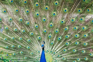 Royal peacock