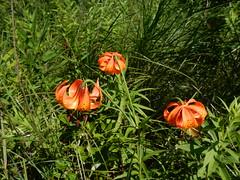 Michigan Lily (Lilium michiganense) (John Scholze) Tags: michigan lily lilium michiganense wisconsin wetland wildflower