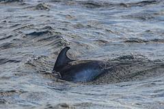 First sight of a dolphin (Tambako the Jaguar) Tags: dolphin bottlenose whale water waves fin swimming wild mammal tenerife spain nikon d5 marine safari sea