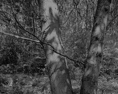 Trees (Hyons Wood) (Jonathan Carr) Tags: walkertitansf trees ancientwoodland landscape largefornat abstraction 4x5 monochrome blackwhite