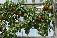 Kennett Square, PA - Longwood Gardens - Conservatory - Estate Fruit House - Peaches (jrozwado) Tags: northamerica usa pennsylvania garden conservatory kennettsquare longwoodgardens fruit peach