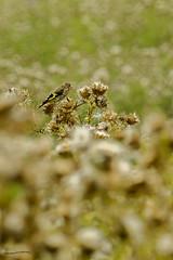 Fledgeling Goldfinch (ianbartlett) Tags: outdoor macro landscape wildlife nature birds butterflies dragonflies cattle flight flowers colour light shadows clouds