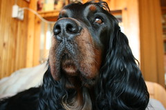 Shaggie 125 (reimo.zoober) Tags: gordon setter dog
