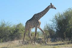 Giraffa camelopardalis giraffa (Southern Giraffe) (Arthur Chapman) Tags: giraffa camelopardalis giraffacamelopardalis giraffacamelopardalisgiraffa giraffe southerngiraffe choberiver chobenationalpark chobe kasane botswana taxonomy:kingdom=animalia taxonomy:phylum=chordata taxonomy:class=mammalia taxonomy:order=artiodactyla taxonomy:family=giraffidae taxonomy:genus=giraffa taxonomy:binomial=giraffacamelopardalis taxonomy:trinomial=giraffacamelopardalisgiraffa taxonomy:common=giraffe taxonomy:common=southerngiraffe geocode:accuracy=50meters geocode:method=gps geo:country=botswana geo:region=africa