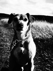 Jake (cycle.nut66) Tags: jake dog terrier patterdale black white monochrome grainy film art filter olympus epl1 mzuiko micro four thirds