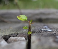 Life will find a Way (marymorano) Tags: plants green garden seedling growing growth spring summer nature delicate fragile biology steps wooden woods flower leaf leaves stem plantsincracks